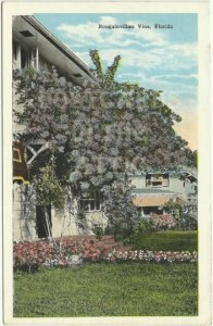 Bougainvillaea Vine in Florida Beautiful Scenic Florida Travel Souvenir Vintage