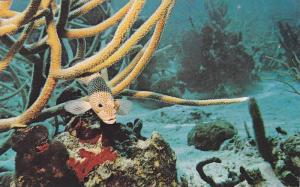 West Indies Underwater Scene,Rock Hind Epinephelus adscensionis,Staghorn Cora...