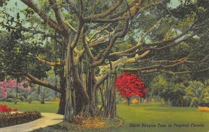Red Road Miami FL Giant Banyan Tree , Curt Teich Postcard