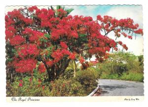 Hawaii Royal Poinciana Flower Tree Vintage Postcard 4X6