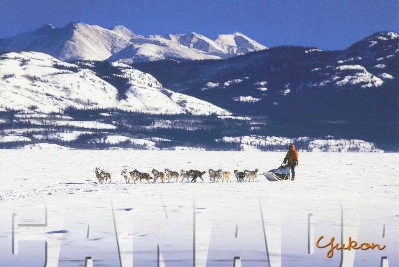 Yukon YT Canada Dog Teams Sled Winter Snow Dogs Unused Postcard D27