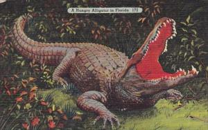 A Hungry Alligator In Florida 172 1948