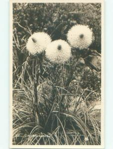 rppc Pre-1949 Close-Up Photography FLOWERS IN SQUAW GRASS AC7890