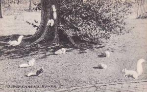 Illinois Olney White Squirrels At Larchmont The Home Of Mr And Mrs Harvey D H...