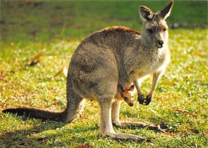 Great Grey Kangaroo - Australia