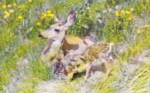 Canada Deer and Newborn Fawns Canadian Rockies