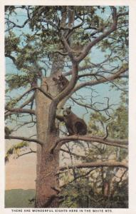 Bears in tree , WHITE MOUNTAINS , New Hampshire ; 00s-10s