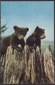 Bear Cubs Postcard
