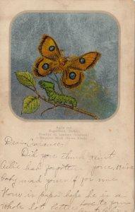 Emporer Moth (Silver Birch), PU-1907