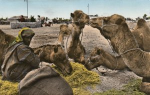 RP; MAROC , Africa , 1930s; Man with Camels, The Halt