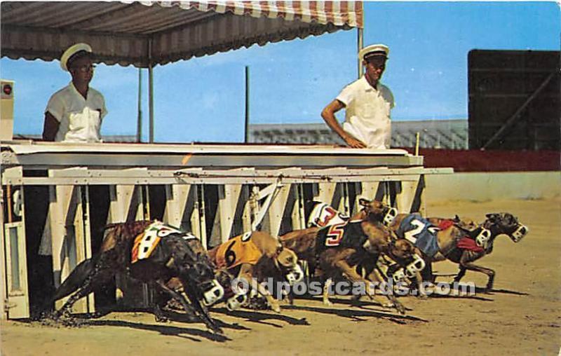 Daytona Beach Florida Fl Usa Dog Racing Postcard They Re Off