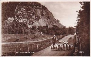 RP, Shepherd With A Flock Of Sheep, Pass Of Ballater (Aberdeenshire), Scotlan...