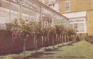 Iowa Davenport Grafted Tree Roses Fejeuary Park 1912