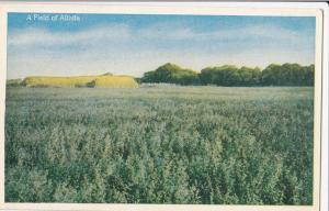 USA, A Field of Alfalfa, 1910s-20s unused Postcard