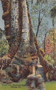 Laurel Oak, Highlands hammock Sebring, Florida, USA Tree Unused