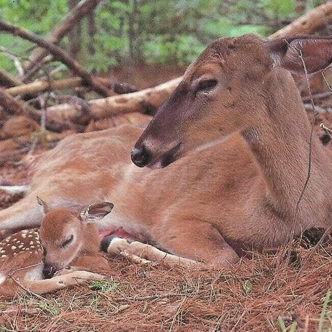 White-Tailed Doe w/ Fawn Deer Family Forest Bed Robert Baldwin Printed in USA