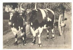 Yoked Oxen , Nova Scotia , canada 20-40s