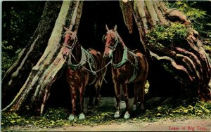 Vtg Cartolina 1910s Cavallo Team IN Grande Albero Newman Company California