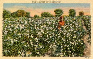 Picking Cotton in the Southwest