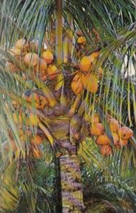 Florida Coconut Palm Tree