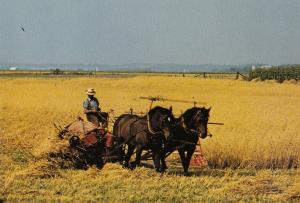 Mennonite Farmer in Elmira Ontario Canada Postcard