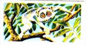 Brooke Bond Trade Card Asian Wildlife No 6 Slender Loris