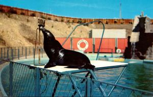 California Marineland Of The Pacific Si The Poliotician Sea Lion