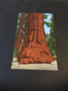 Vintage  Postcard - The President Tree , Sequoia National Forest