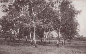 Epping Forest Silver Birch Trees Tree Old Essex Antique Postcard