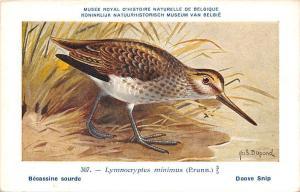 Belgie Museum, Lymnocryptes minimus, Jack snipe, bird, Hub. Dupond, Doove Snip