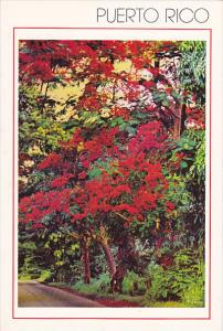 Puerto Rico Flamboyant Tree