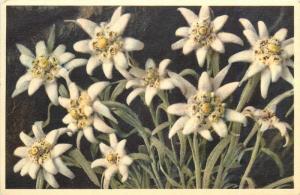 Leontopodium alpinum Edelweiss flowers 1957 postcard