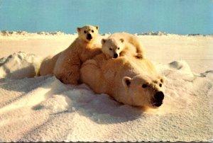 Alaska Playful Polar Bears 1973