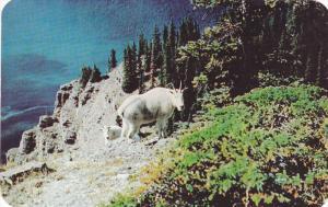 Rocky Mountain Goat, Kootenay River, KOOTENAY LAKE, British Columbia, Canada,...