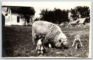 Real Photo Postcard~HUGE Wooly Sheep~2 Newborn Lambs~Farm House~Barn~1919 RPPC
