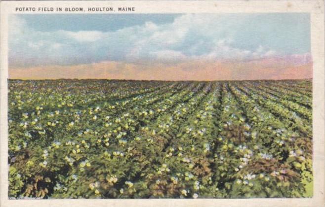 Maine Houlton Potato Field In Bloom