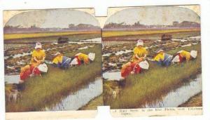 SV: A Busy Scene In The Rice Fields, Near Yokohama, Japan, 1890s