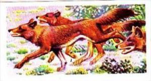 Brooke Bond Trade Card Asian Wildlife No 25 Indian Wild Dog or Dhole