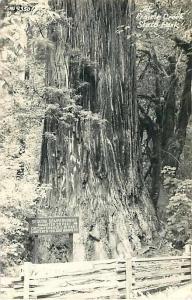 RPPC of Sequoia Sempervirens Prairie State Park California 1951