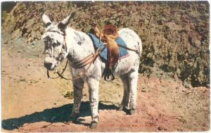 Ready for Business, Cute little Donkey, 1908 Divided back