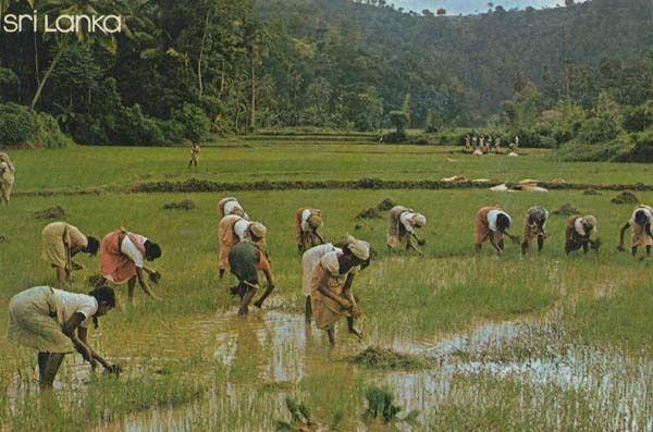 Sri Lanka Transplanting Paddy Rice Fields Culture 1972 Postcard
