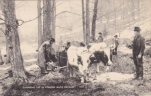 Vermont Gathering Sap In A Vermont Maple Orchard
