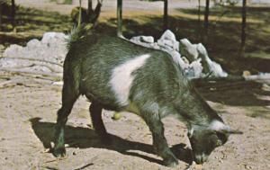 PYGMY Goat , Parke County , Indiana , 50-60s