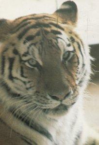 GRANBY , Quebec , Canada , 1986 ; Tiger in Zoo