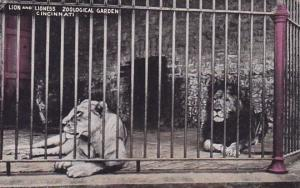 Lion And Lioness At The Zoological Garden Cincinnati Ohio