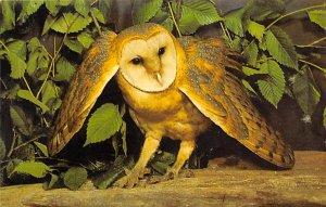 Barn Owl Medomak, Maine, USA Unused