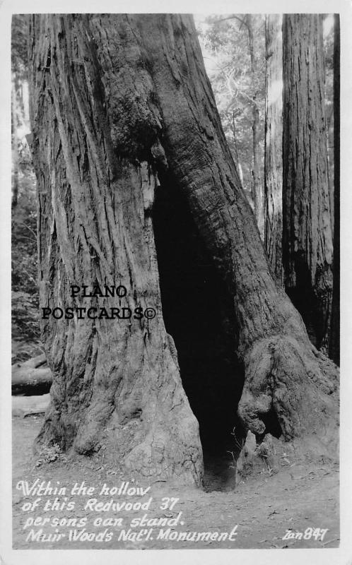 MUIR WOODS NAT. MONUMENT 37 PEOPLE CAN STAND IN THIS HOLLOW RPPC REAL PHOTO PC