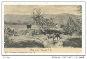Cattle Taking A Rest, Intervale, New Hampshire, PU-1911
