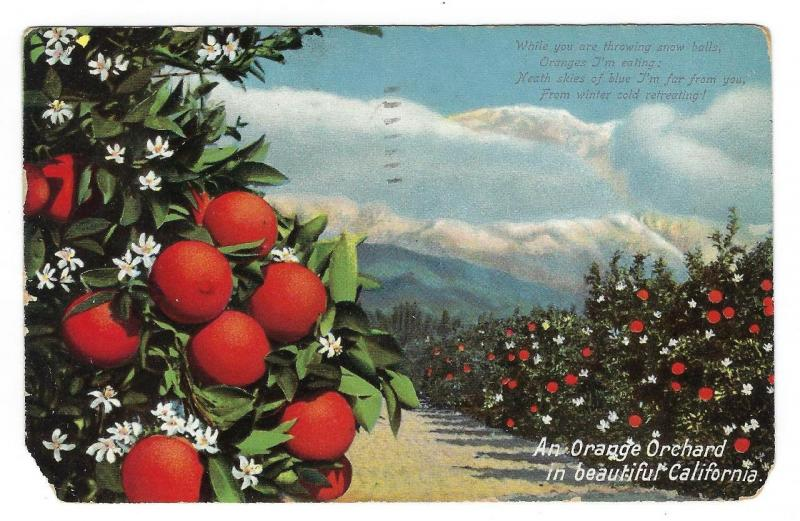 1909 USA Southern California Orange Orchard Postcard (MM155)