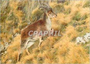 Modern Postcard Der Steinbock Athiopische WWF Walia Ibex